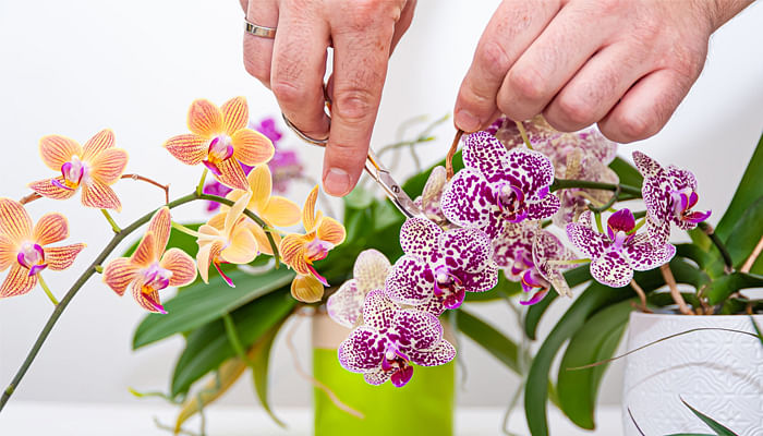 guide-to-growing-orchids-in-singapore-trim-blooms