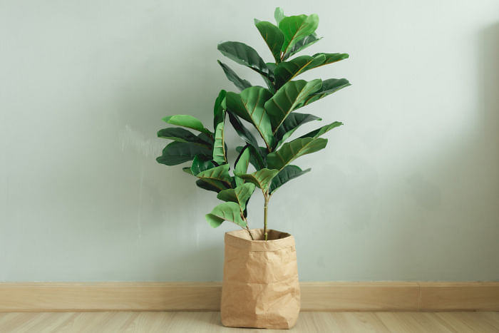 indoor-plant-tips-how-to-care-fiddle-leaf-fig-singapore-plant