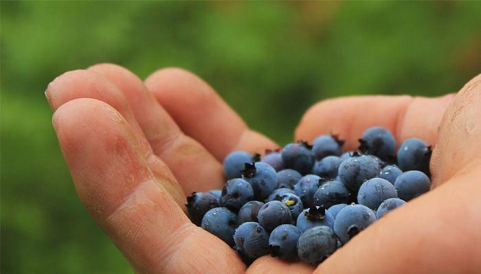 Handful of Blueberries for Alzheimer's Disease