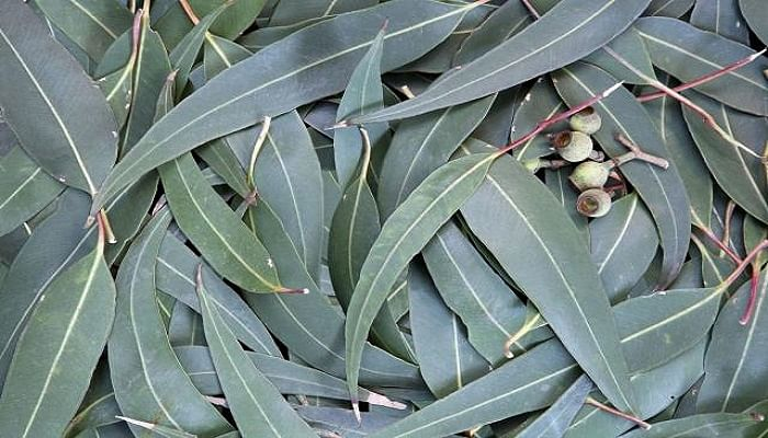 The One Thing You Should Be Using To Repel Mosquitoes_Eucalyptus