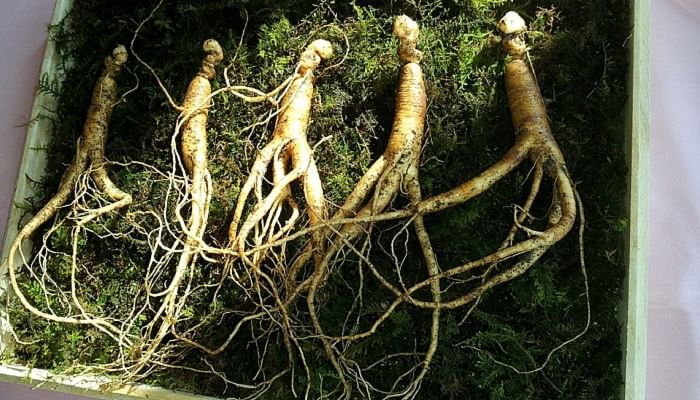 The 10 Best TCM Herbs Everyone Should Have At Home_ginseng