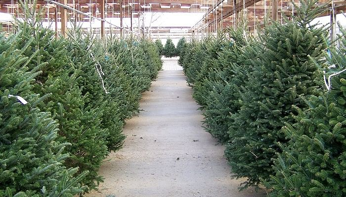 heres-where-to-get-a-real-christmas-tree-for-your-home-plus-buying-tips-4